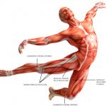fascia, muscles